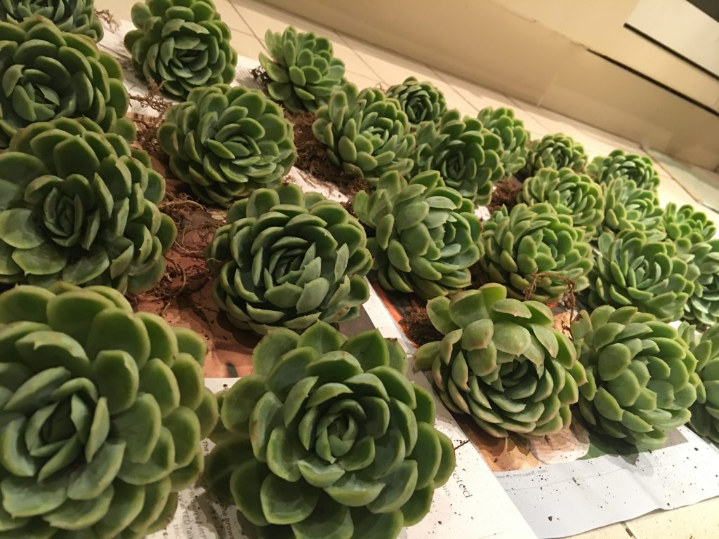 All the echeverias- ma babies