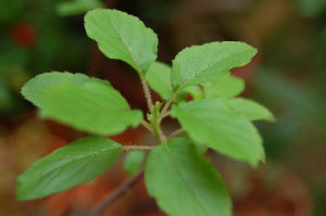 Indian Basil.png